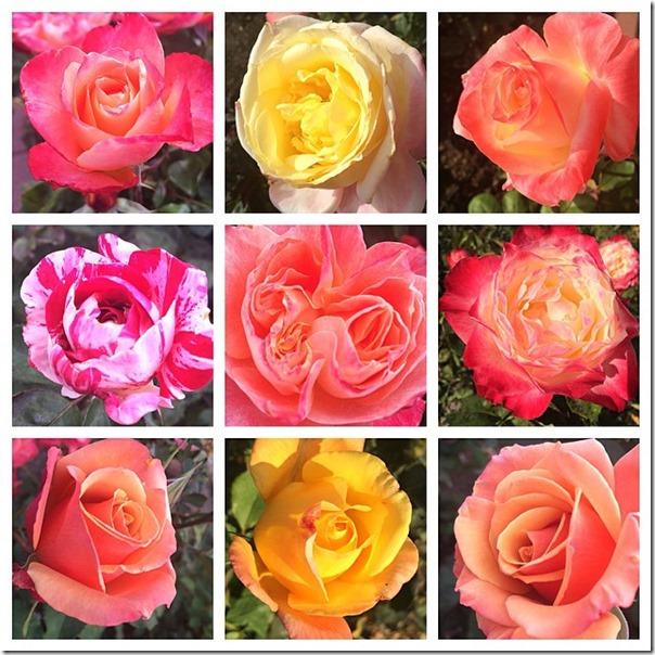 TP Roses